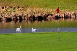 2 swans 2 (Medium)